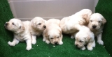 Goldens Retrievers de color dorado con pedigri. Preciosos !