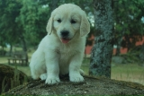 GOLDEN RETRIEVER-nacionales